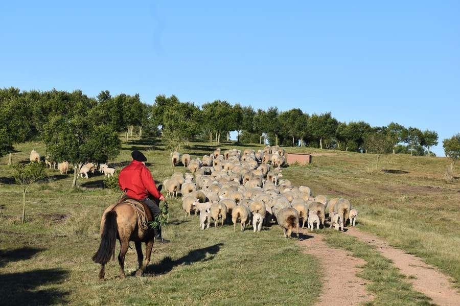 Na Estância Guarda Velha, em Pinheiro Machado, mil ovinos circulam em área de 150 hectares cultivada com oliveiras