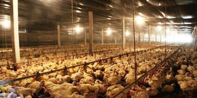 Empresa proibiu venda de lotes de frango em mais de dez estados