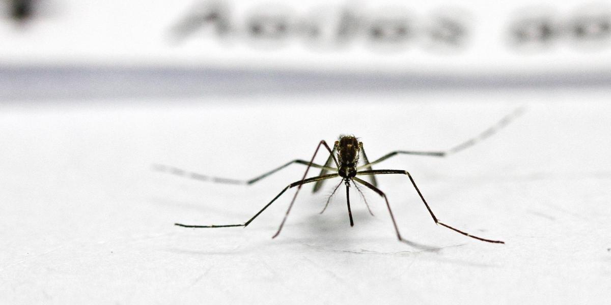 Aedes aegypti transmite a dengue
