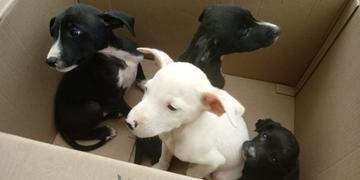 Cãezinhos foram encaminhados para clínica veterinária