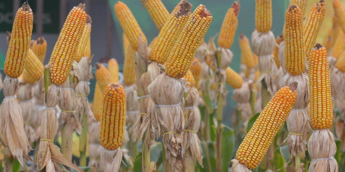 Produção estimada de milho é de 5,5 milhões de toneladas