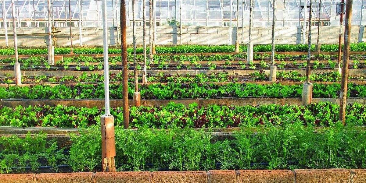 FAO estima que até 40% da produção agrícola mundial seja perdida a cada ano por causa de pragas