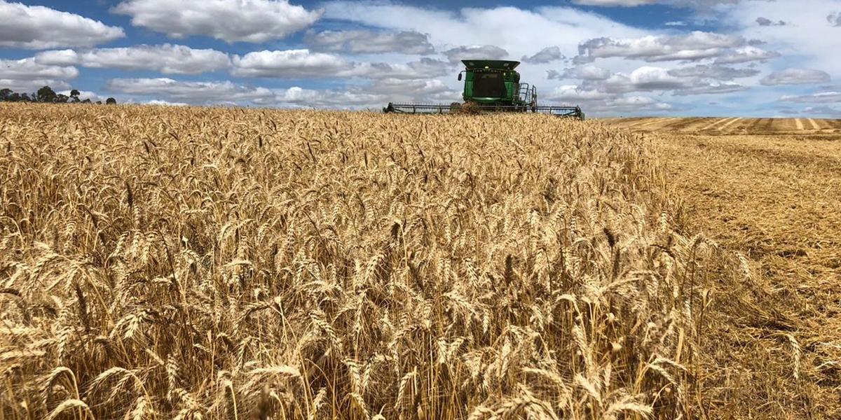 Conab calcula uma produção de 1,936 milhão de toneladas de trigo