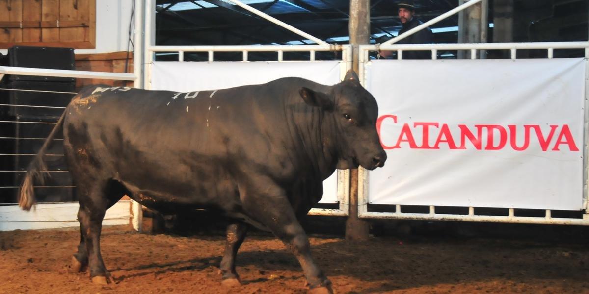 Touro Brangus, chamado São Bibiano Sultan, Lote 107 vendido na Liquidação de Plantel Angus Catanduva.