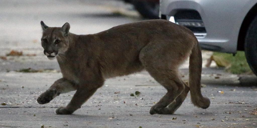 No Chile, um puma selvagem percorreu as ruas desertas de Santiago