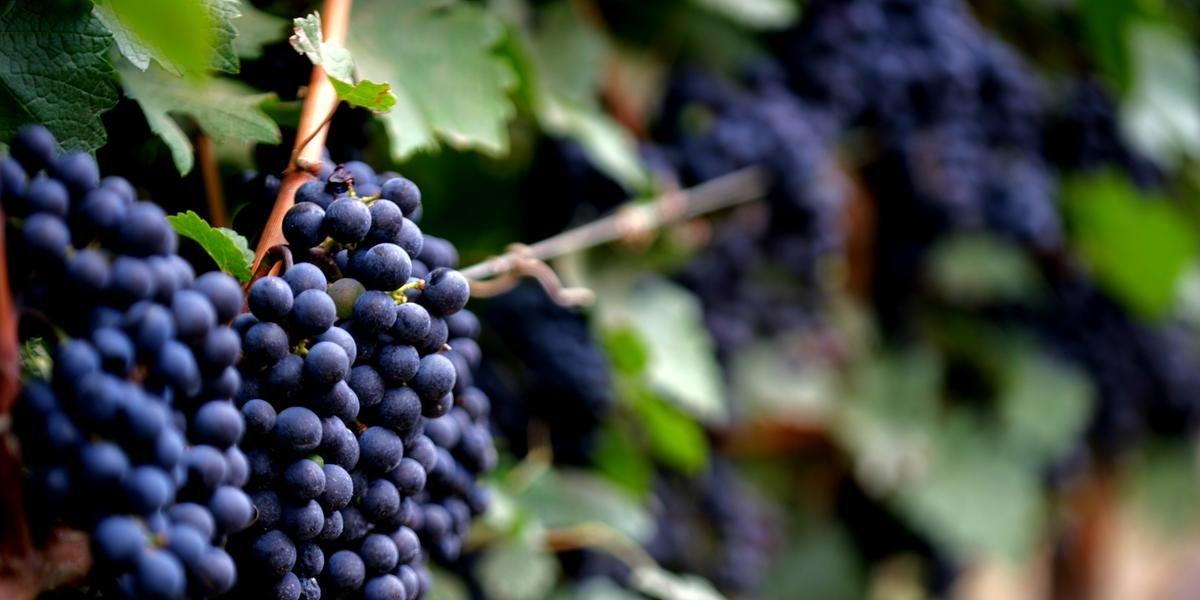 Qualidade da fruta deve ser sentida no vinho