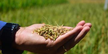 O Rio Grande do Sul é responsável por 70% da produção brasileira de arroz