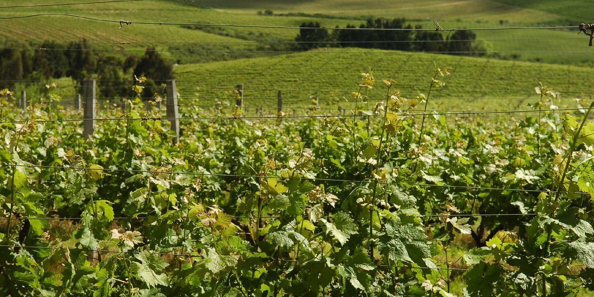 As vinícolas que adquirirem o selo de IG garantem para o consumidor que o produto é genuinamente de uma região e, por isso, possui qualidades particulares