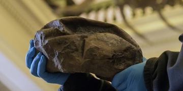 Fóssil permaneceu por nove anos em um museu chileno sem ser identificado