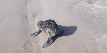 O animal será entregue ao Ceclimar, na Praia de Imbé