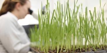 Pesquisas para o desenvolvimento de cultivares de trigo são realizadas no Laboratório da Biotrigo, em Passo Fundo
