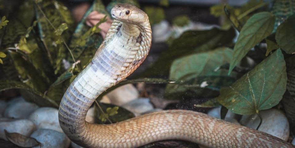 Estudante de veterinária Pedro Henrique Krambeck, de 22 anos, picado pela cobra naja que criava ilegalmente no Distrito Federal