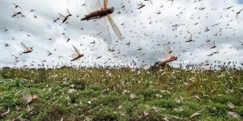 Novo surto de gafanhotos na Argentina é monitorado