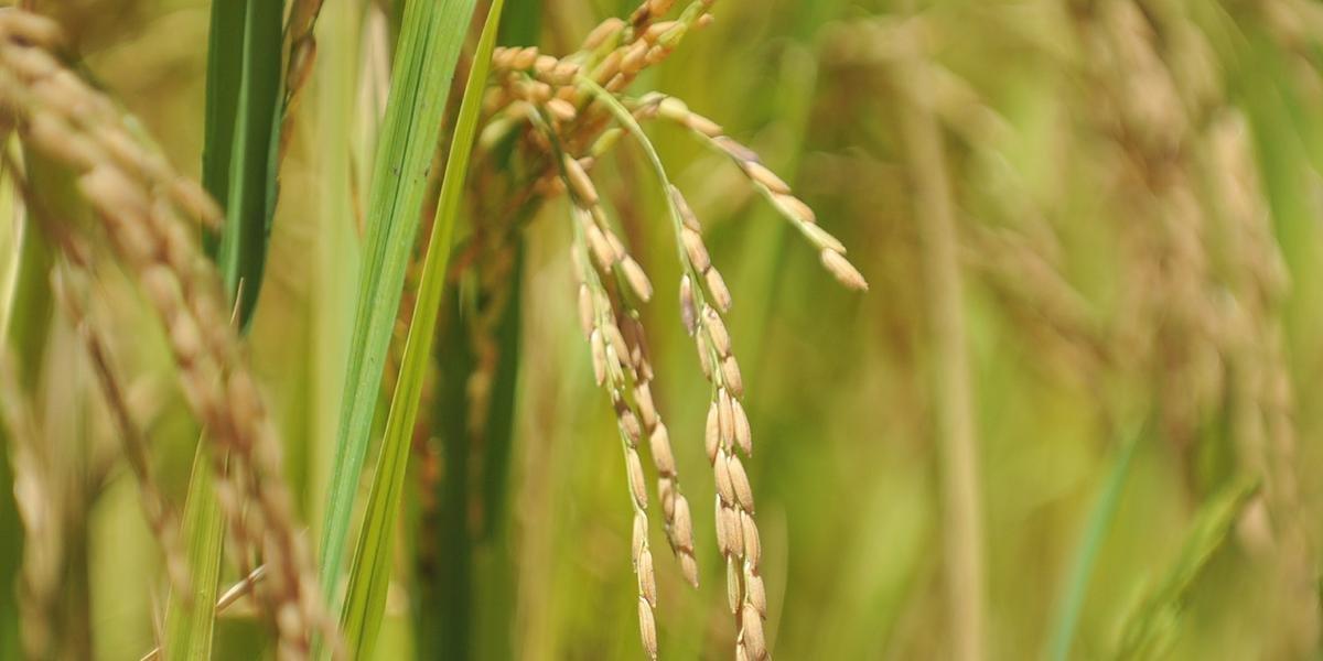 Com base nas últimas cinco safras, o Brasil produziu, anualmente, entre 10,4 e 12,4 milhões de toneladas de arroz e participa com 76% da produção do Mercosul, seguido pela Argentina, Uruguai e Paraguai