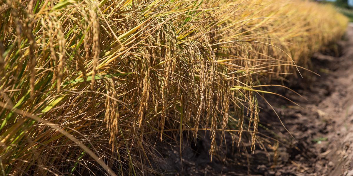 TEC se mantém em 10% para importação do arroz em casca e 12% para o grão beneficiado