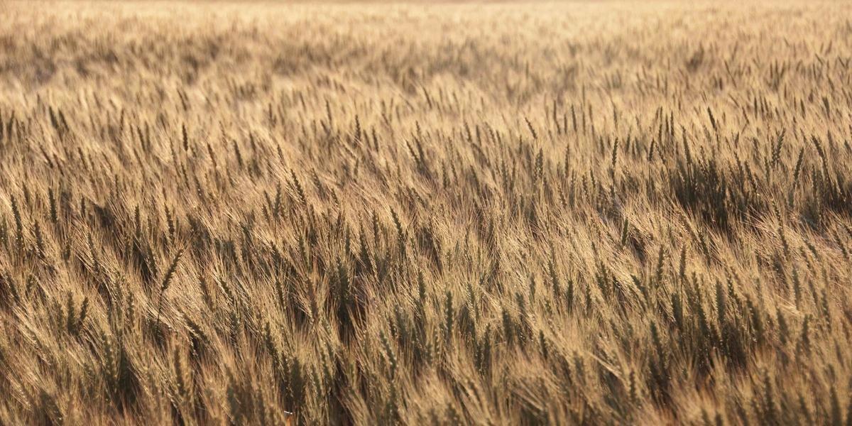 O Rio Grande do Sul é o segundo maior produtor nacional de trigo, com produção média de 1,8 milhões de toneladas por ano no período de 2016 a 2018