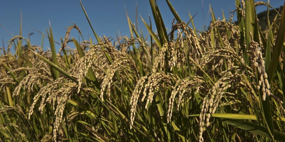 O Rio Grande do Sul produz 70% de todo o arroz brasileiro