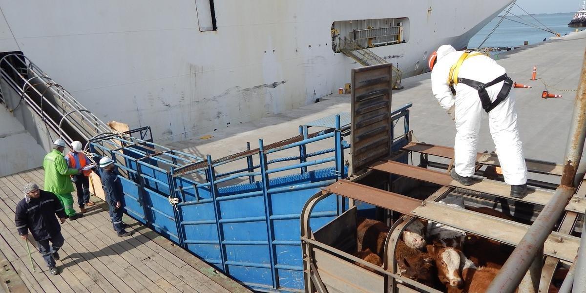 O Rio Grande do Sul exportou apenas neste ano 50 mil bovinos vivos para o Oriente Médio