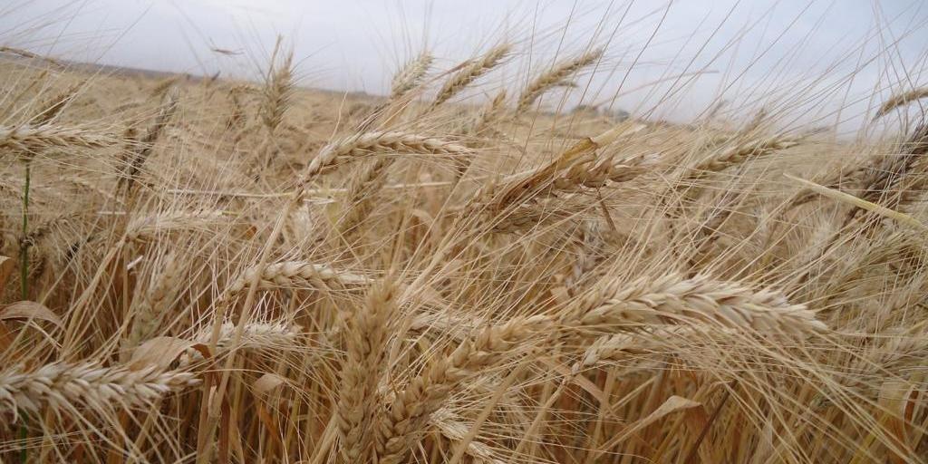 Cultura do trigo também foi afetada por geadas neste ano
