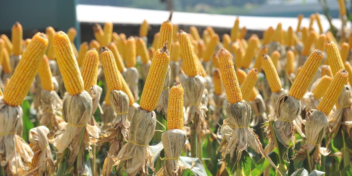 O milho está com preços altos por causa da seca que afetou severamente o Estado