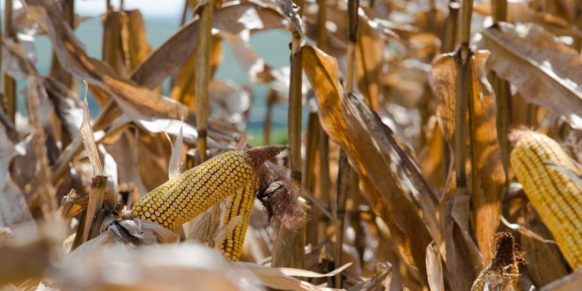 O milho, junto com o farelo de soja, participa de 70% dos custos de produção da avicultura, pois são insumos importantes para a alimentação dos animais