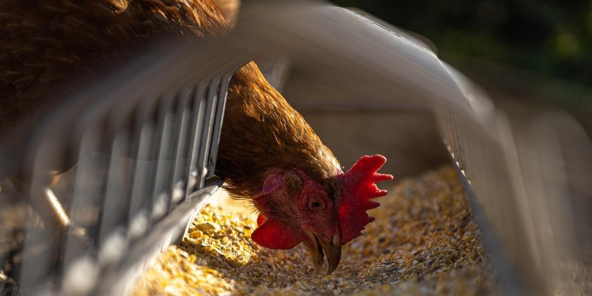 Milho e farelo de soja equivalem a 70% dos gastos com insumos para alimentação de galinhas