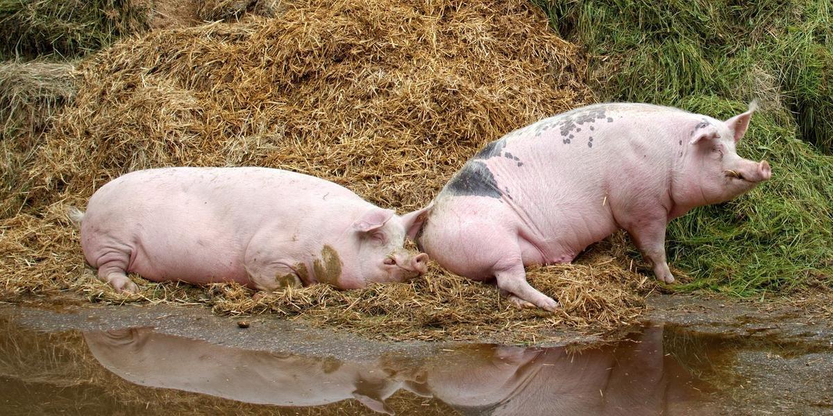 O custo de produção do quilo vivo do suíno em outubro ficou em R$ 6,17