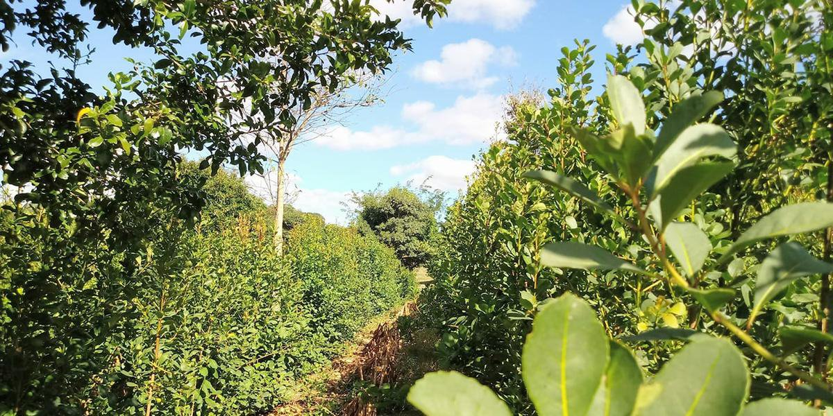 Rendimento tem grandes variações nos diferentes ervais cultivados no Estado
