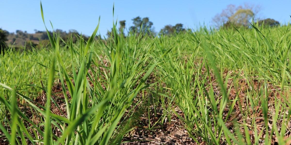 Lavoura em desenvolvimento vegetativo na região de Frederico Westphalen