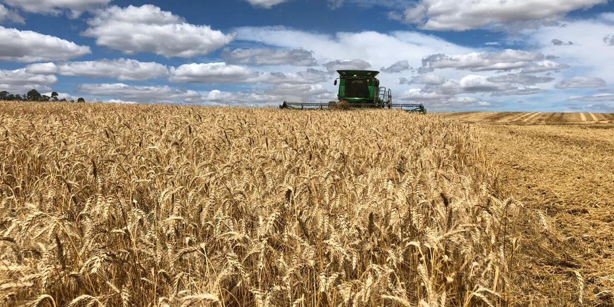Caso seja confirmada a estimativa, a produção gaúcha irá representar 44% do volume de trigo produzido no país